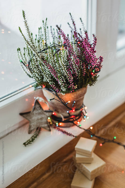 Calluna vulgaris with christmas light by Tatjana Zlatkovic for Stocksy United