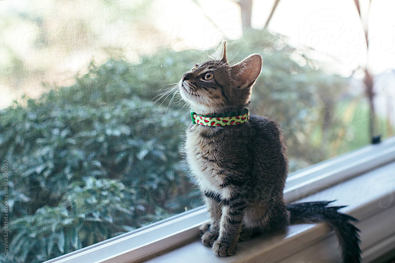 Adorable tabby kitten wearing a watermelon collar by Carolyn Lagattuta for Stocksy United