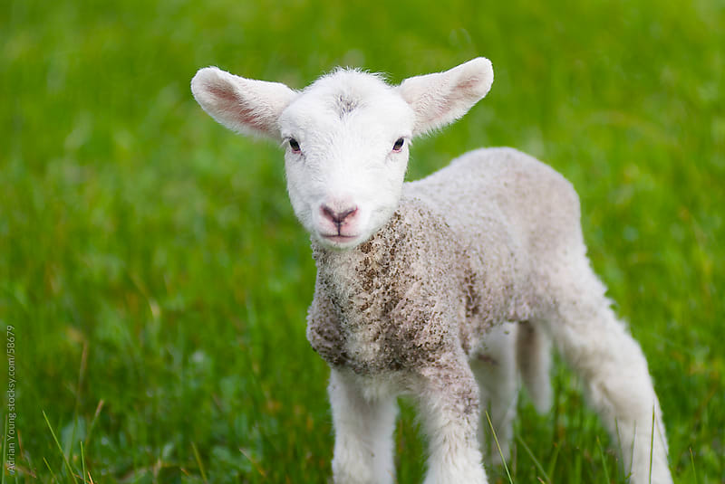 Cute Lamb in a Grassy Field by Adrian Young for Stocksy United