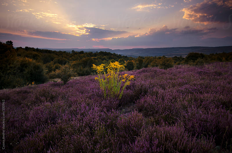 Purple flowers in the field at sunset by Cosma Andrei for Stocksy United