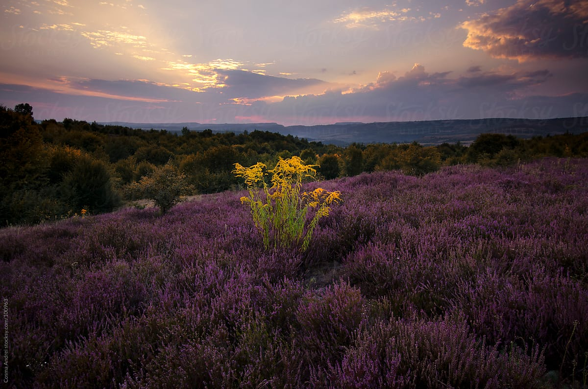 Purple Flowers In The Field At Sunset By Cosma Andrei Stocksy United