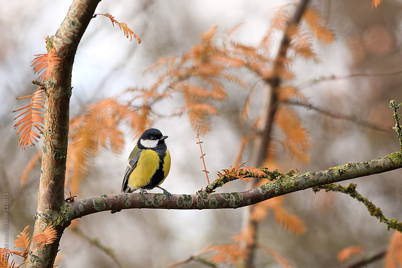 Great tit perching in metasequioa by Marcel for Stocksy United