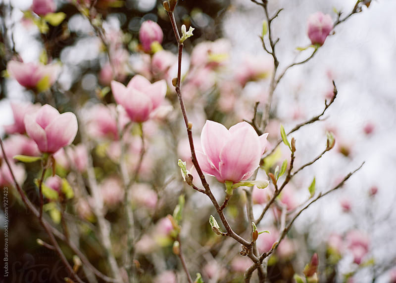 Magnolia tree in blossom by Liubov Burakova for Stocksy United