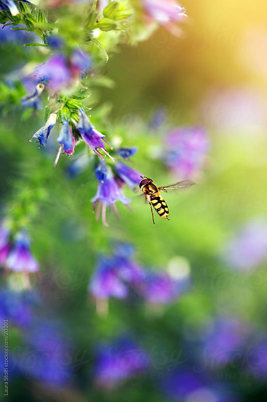 Hoverfly on Viper's Bugloss (Echium vulgare) flower on colorful, blurred background by Laura Stolfi for Stocksy United