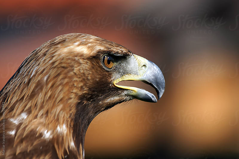 Golden Eagle by Marilar Irastorza for Stocksy United