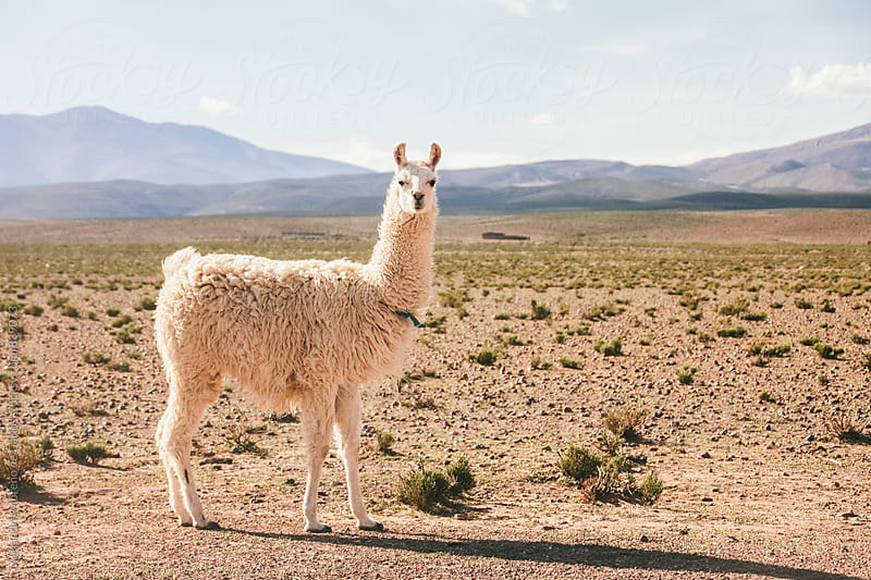 Lama standing on altiplano landscape looking at camera by Alejandro Moreno de Carlos for Stocksy United