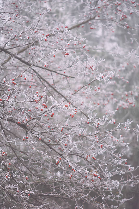 Frozen hawthorn tree  by Pixel Stories for Stocksy United