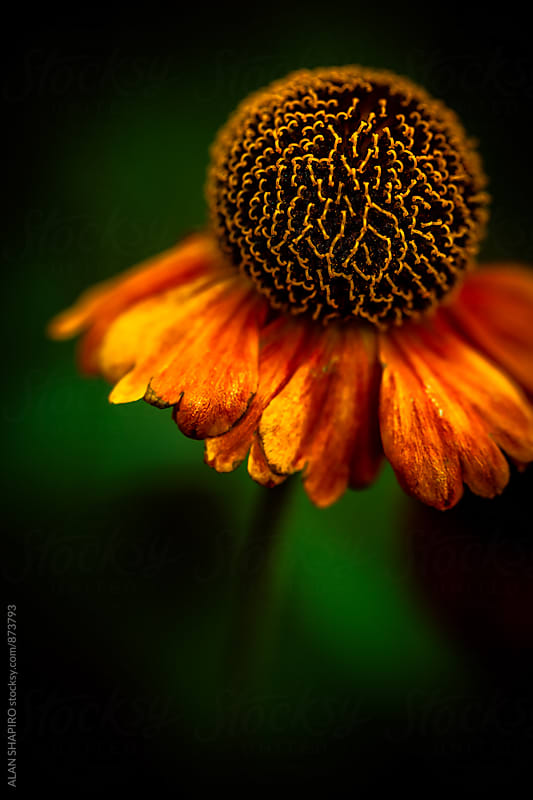 Sneezeweed macro by alan shapiro for Stocksy United