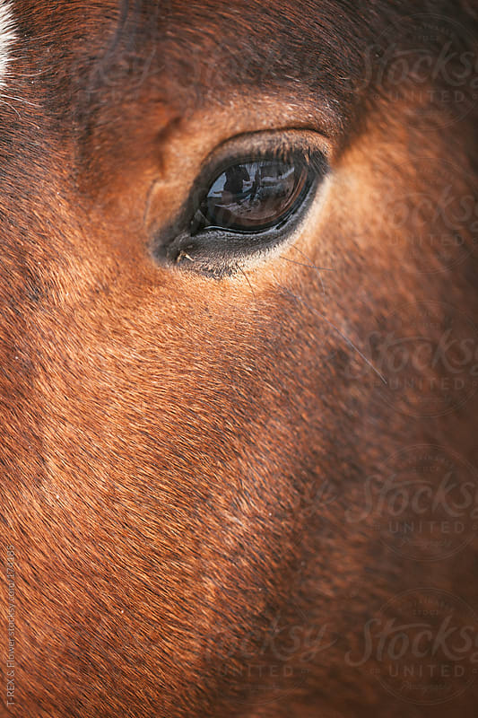 A chestnut horse looking at camera by T-REX & Flower for Stocksy United
