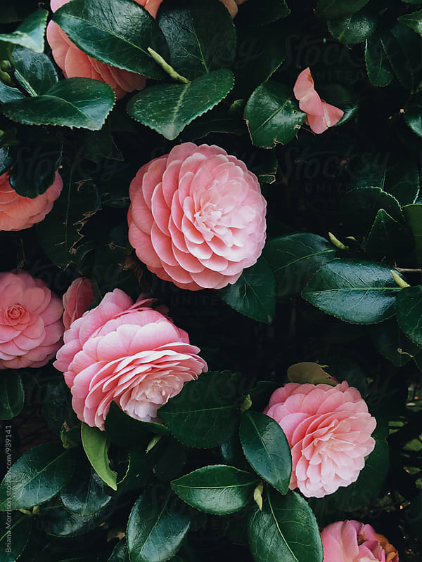 Close Up of Beautiful Pink Camellia Flowers by Briana Morrison for Stocksy United