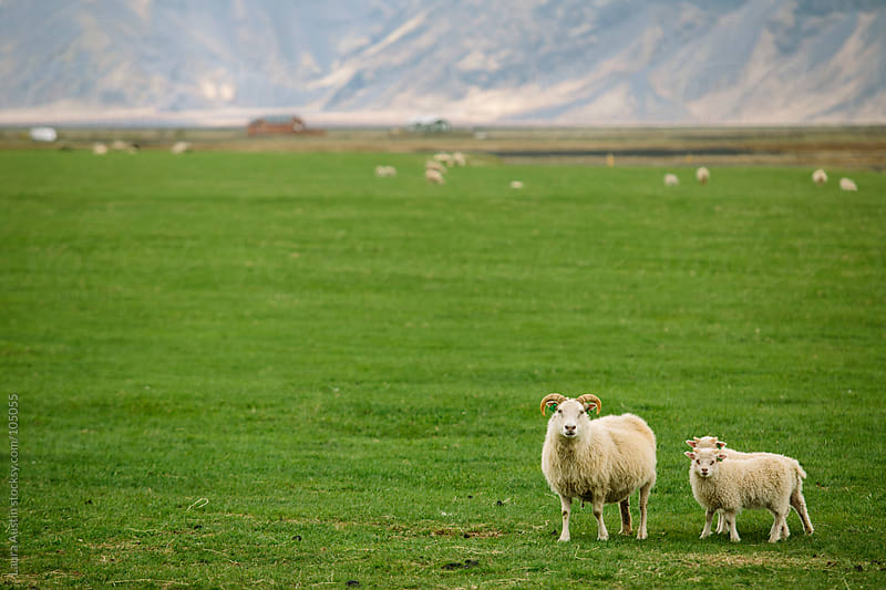 Sheep Standing In A Large Green Field by Laura Austin for Stocksy United