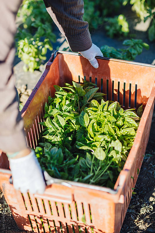 hands picking crate of fresh basil by Lior + Lone for Stocksy United