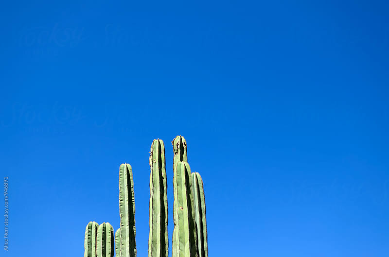 Cactus against blue sky  by Alice Nerr for Stocksy United