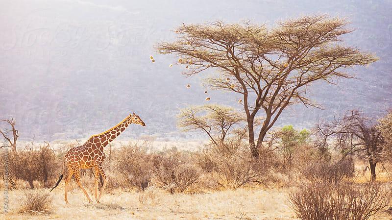 Reticulated giraffe in Africa by ACALU Studio for Stocksy United