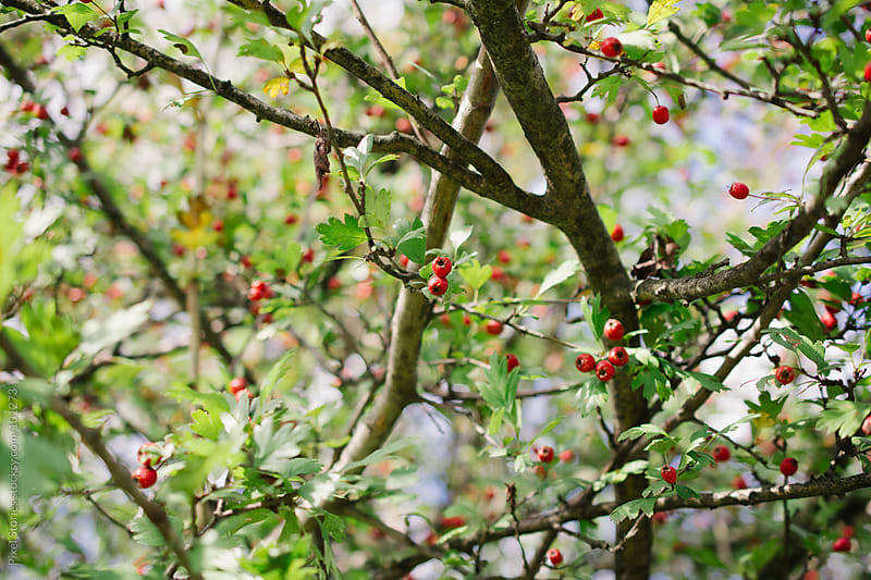Hawthorn tree by Pixel Stories for Stocksy United