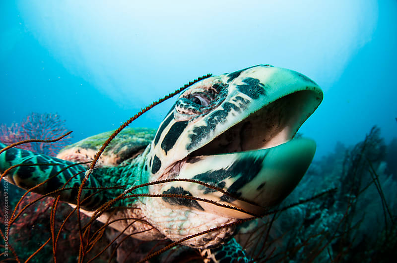 Happy Hawksbill by Shane Gross for Stocksy United