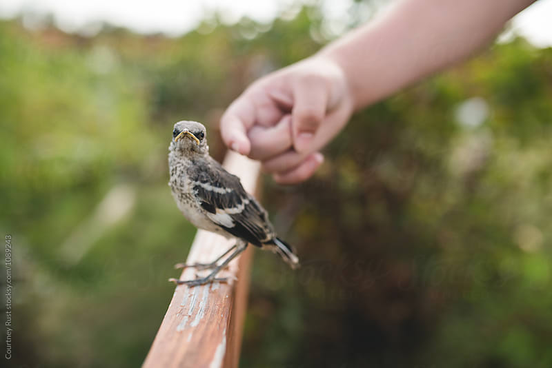 To pet a mockingbird by Courtney Rust for Stocksy United