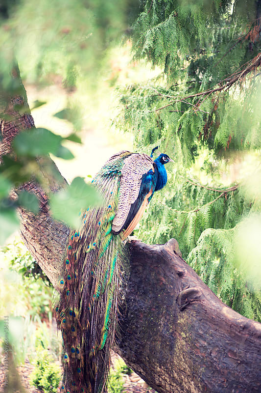 peacock in a tree by Helen Yin for Stocksy United