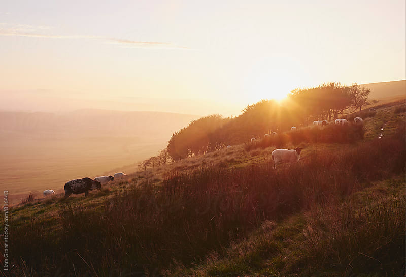 Sheep grazing on hillside at sunset. Derbyshire, UK. by Liam Grant for Stocksy United