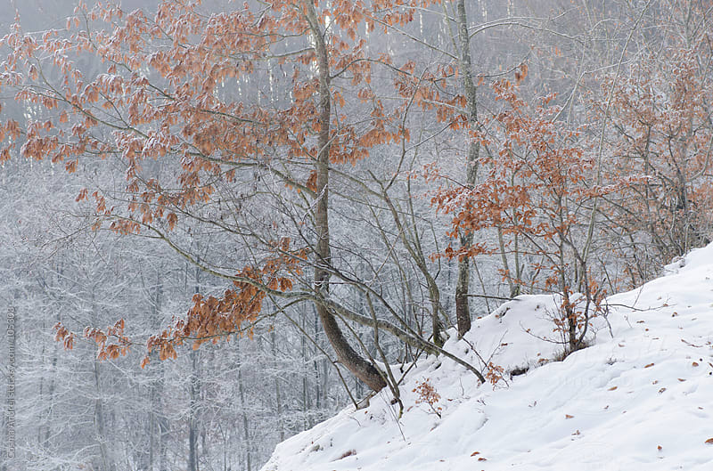 Tree with orange colorful leaves in winter with snow by Cosma Andrei for Stocksy United