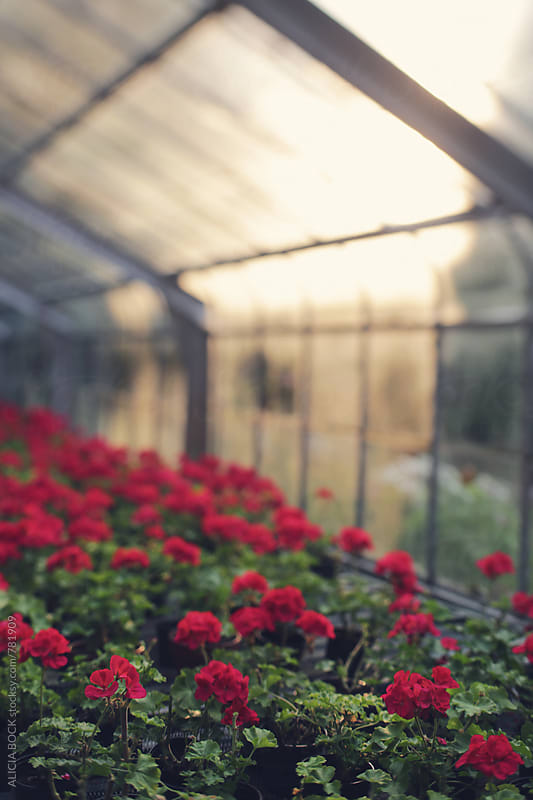 An Old Glass Greenhouse Where Red Geraniums Grow In Morning Light by ALICIA BOCK for Stocksy United