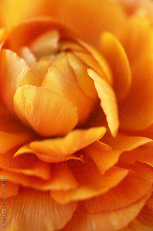 Close Up Of An Orange Ranunculus Flower by ALICIA BOCK for Stocksy United