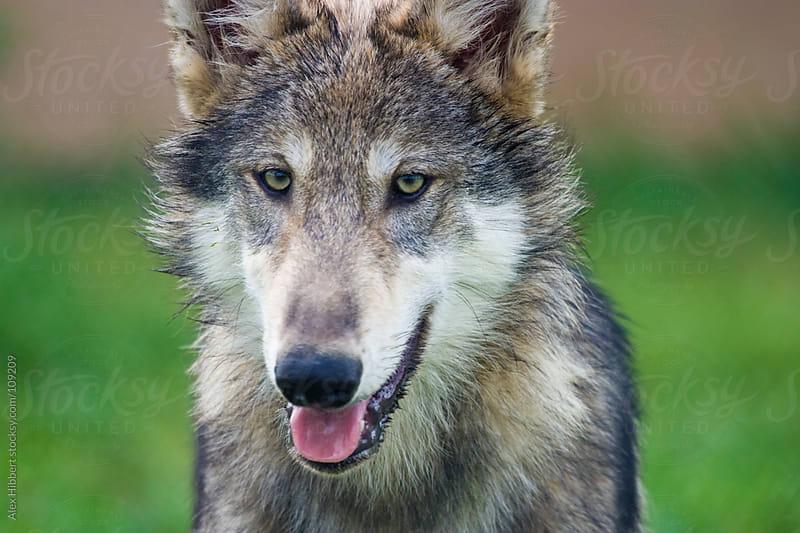 Grey Wolf by Alex Hibbert for Stocksy United