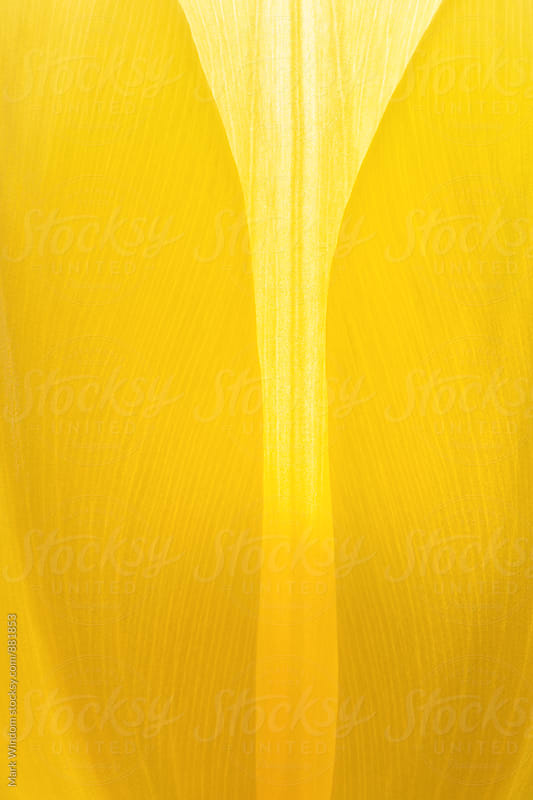 Yellow tulip petals, closeup by Mark Windom for Stocksy United