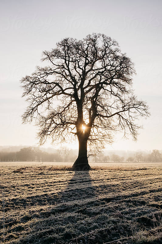 Sunrise behind a tree on a frosty morning. Norfolk, UK. by Liam Grant for Stocksy United
