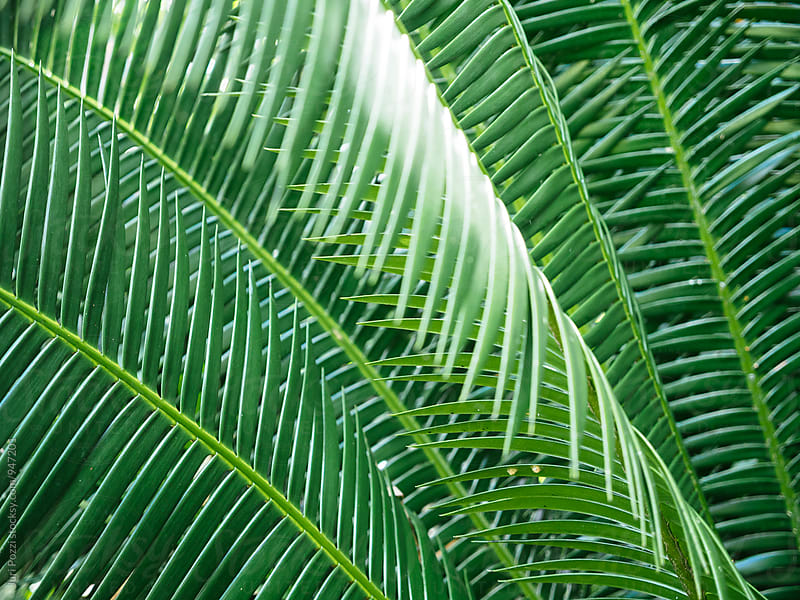 green palm leaves by Juri Pozzi for Stocksy United