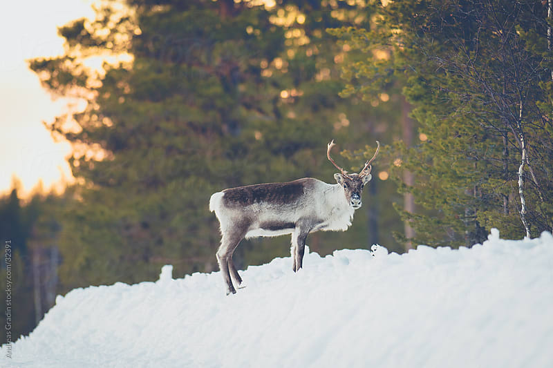 Wild reindeer in Sweden by Andreas Gradin for Stocksy United