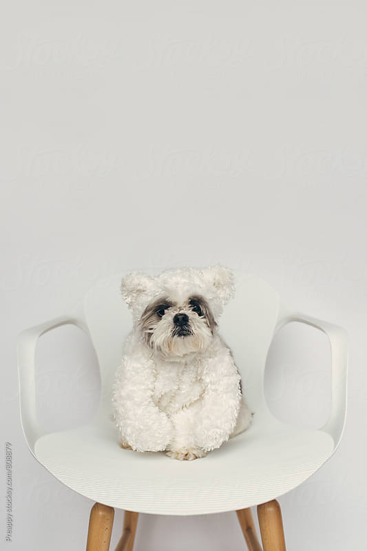 Shih Tzu dog in teddy bear costume by Preappy for Stocksy United