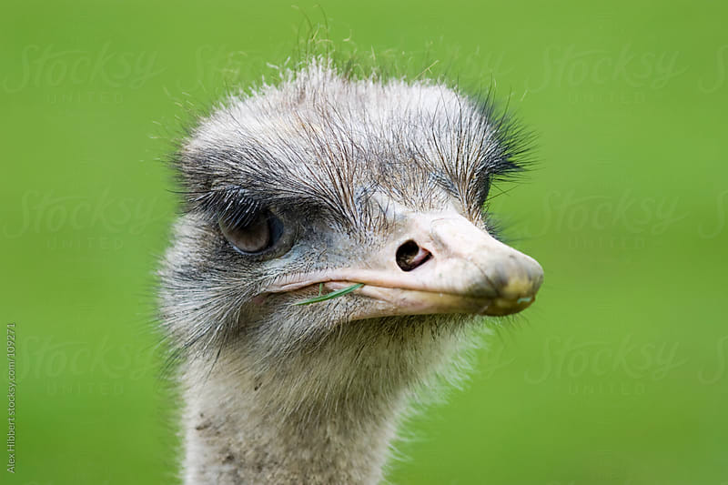 Emu by Alex Hibbert for Stocksy United