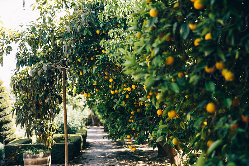 Rows of Orange Trees by Jayme Burrows for Stocksy United