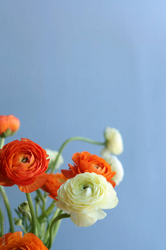 Vibrant Ranunculus Flowers Against A Blue Background by ALICIA BOCK for Stocksy United