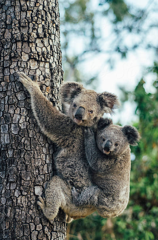 Close up of mother and baby koala by Dominique Chapman for Stocksy United