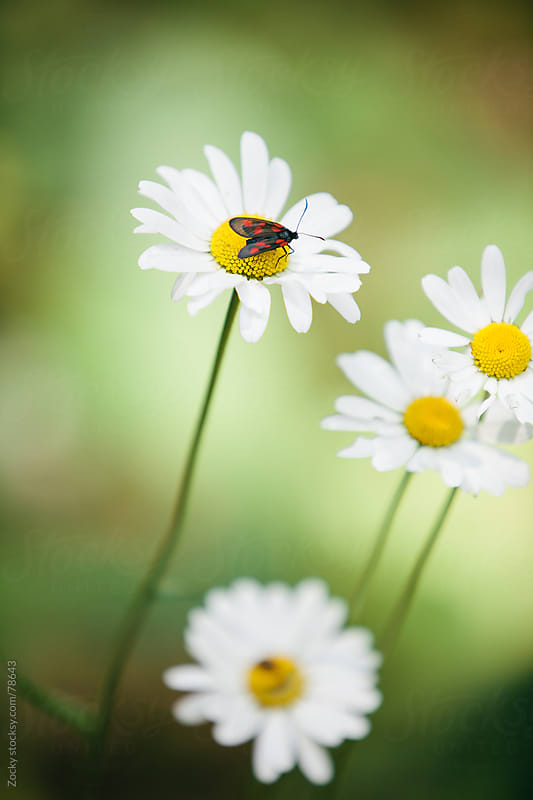 Bug on Daisy by Zocky for Stocksy United