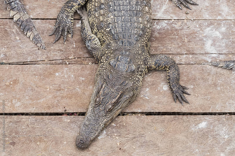 Crocodile Farm in Cambodia by Rowena Naylor for Stocksy United