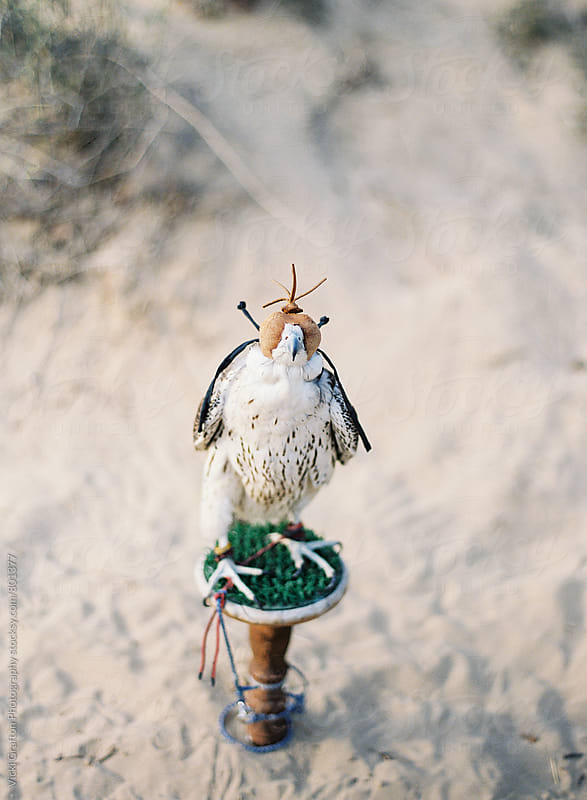 Middle Eastern Falcon in UAE by Vicki Grafton Photography for Stocksy United