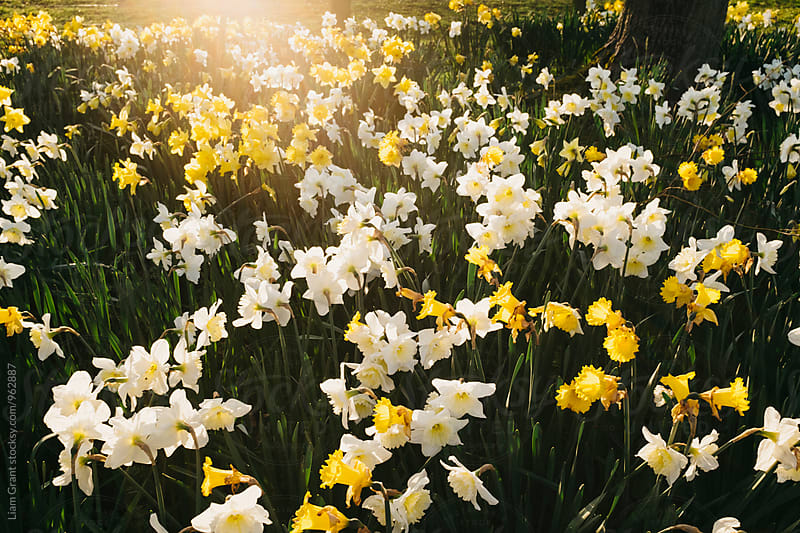 Sunilght on daffodils at sunset. Norfolk, UK. by Liam Grant for Stocksy United