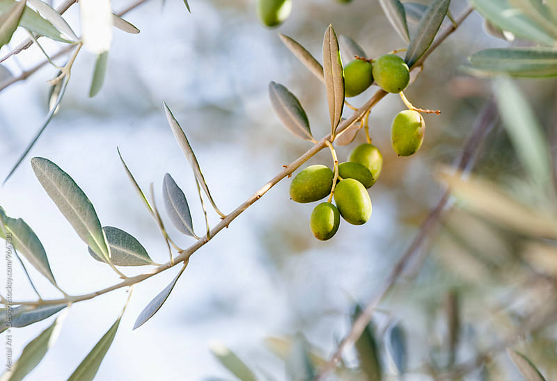 Olive Tree by Mental Art + Design for Stocksy United