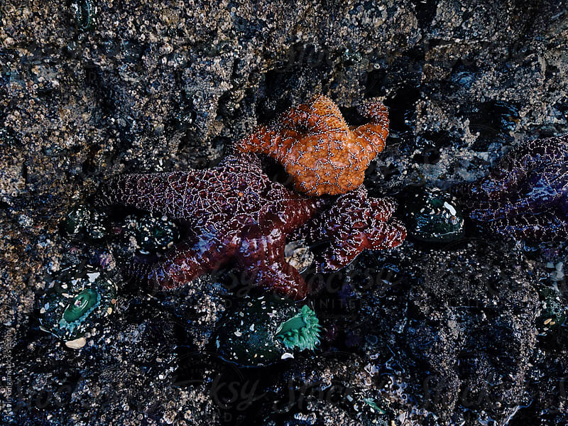 Starfish by Kevin Gilgan for Stocksy United