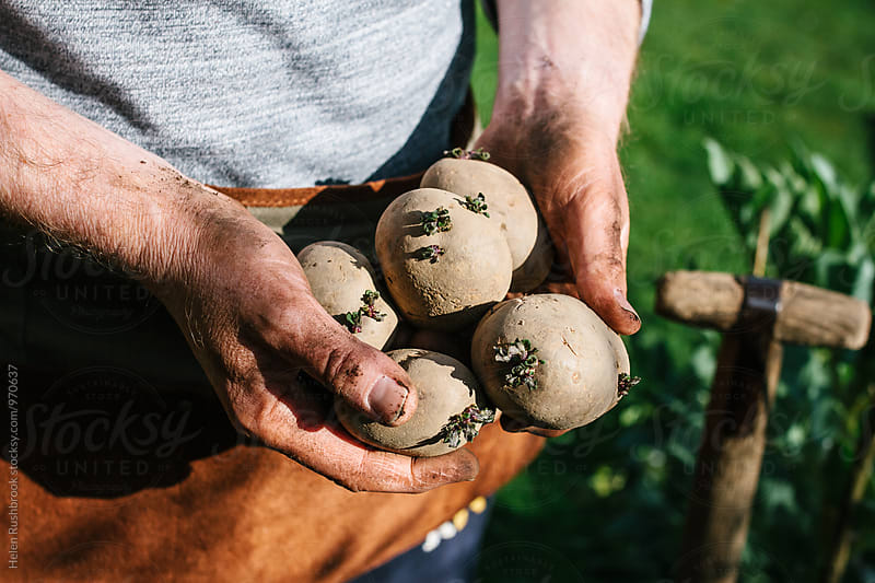 Gardener holding seed potatoes that are ready for planting by Helen Rushbrook for Stocksy United