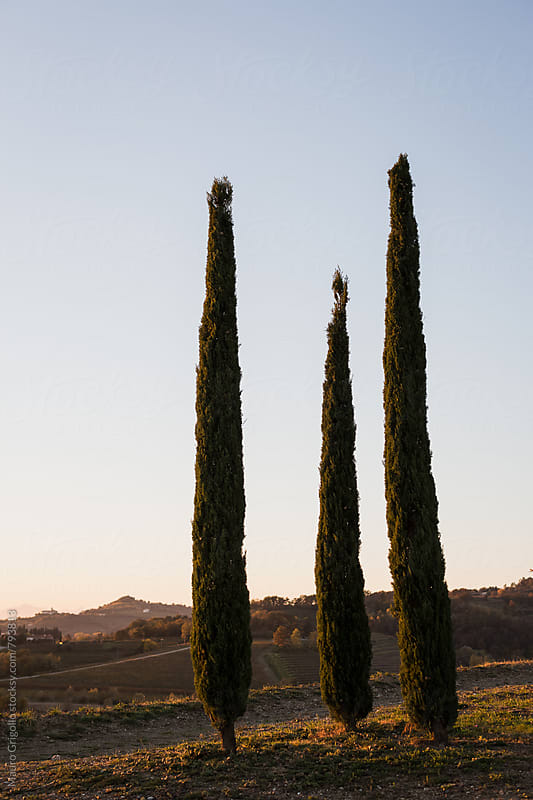 cypresses by Mauro Grigollo for Stocksy United