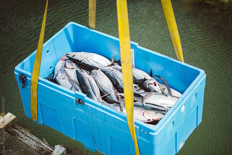 Albacore tuna being transferred from boat to land in large tote. by Kate Daigneault for Stocksy United