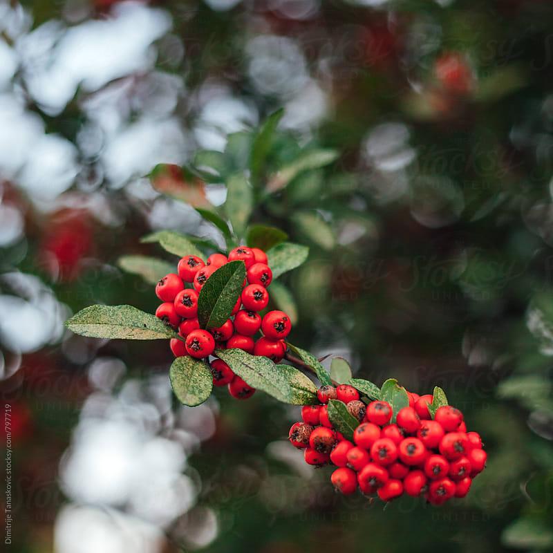 Image of red berries in the park by Dimitrije Tanaskovic for Stocksy United