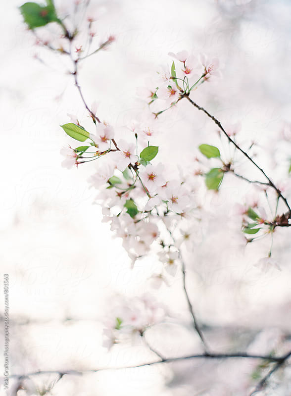 Spring Cherry Blossoms by Vicki Grafton Photography for Stocksy United