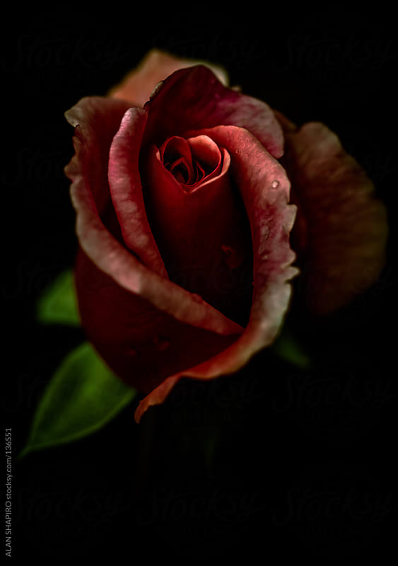 red rose bud on a rainy day by ALAN SHAPIRO for Stocksy United