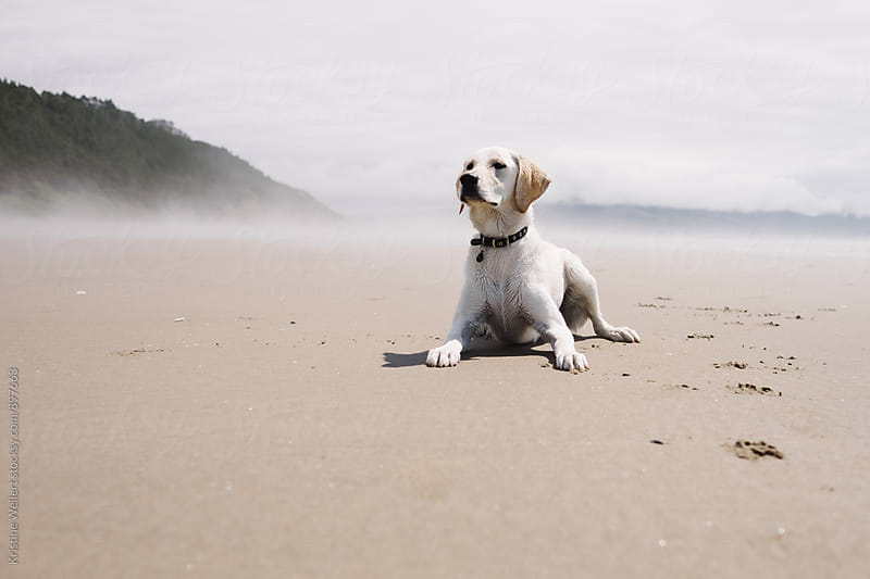 A White Dog Laying in the Sand by Kristine Weilert for Stocksy United