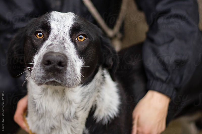 Handsome dog in his owner's arms looks straight at the camera by Laura Stolfi for Stocksy United